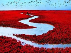Red Beach Located in Liaohe River Delta China