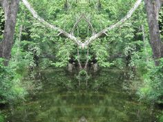 """Sagging Sycamore of Little Chico creek emerging as """"Pan as a Stag"""". The creek is known to be an ancient deer trail. The ..."""