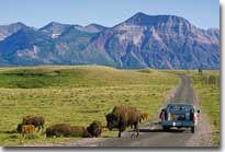 Visit herd of Bison at the Bison Paddock in Waterton Lakes Park.