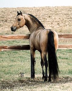 buckskin with black points, built like a quarter horse Most Beautiful Animals, Beautiful Horses, Beautiful Creatures, Beautiful Gorgeous, Morgan Horse, Cowboy Horse, Charro, Majestic Horse, All The Pretty Horses