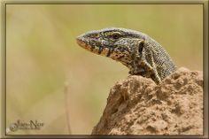 Nile monitor (Varanus niloticus), also called water leguaan ~  © Jan-Nor Photography