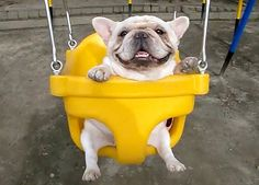 Two French Bulldogs on swings--make sure you see the video!