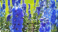 les pieds d'alouettes (Delphinium elatum 'Dark triton blue') En ce jour du Canada Day, je vous présente aujourd'hui ce qu'il y a de plus Québécois au monde des fleurs comme couleur. Les delphiniums, aussi appelés pieds d'alouettes ou dauphinelles, sont très appréciés au jardin, en massifs ou en bordure.