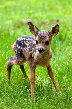 Whitetail Deer Pictures, Deer Photos, Roe Deer, Tier Fotos, Baby Deer, Cute Little Animals, Pet Birds, Animals Beautiful, Mammals