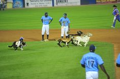 Why, yes. That is a cowboy monkey riding a dog and herding goats in the infield.