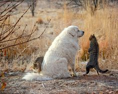 Animal Photography, Cats and Dog Playing, Grand Pyrenees, Friendship on Etsy, $27.50