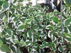 Ficus repens variegata (F. pumila) - Variegated creeping fig