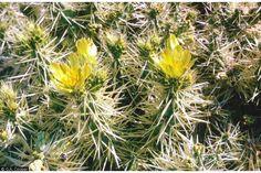 cylindropuntia tunicata - Pesquisa Google