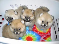 puppies | Pomeranian puppies for sale in manchester, Cheshire UK - Pomeranian ...