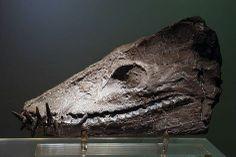 Plesiosaur skull found at Maungataniwha  Auckland Museum