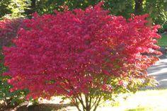 flaming red fall plants | ... Pruning burning bush, azaleas, wiegela, red twig dogwood and spirea
