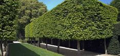 pleached hornbeam - Google Search