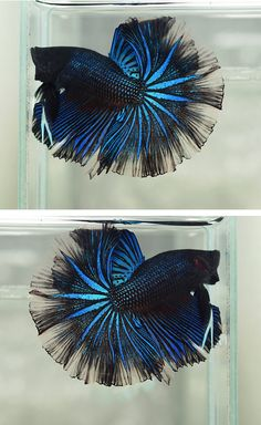 Some interesting betta fish facts. Betta fish are small fresh water fish that are part of the Osphronemidae family. Betta fish come in about 65 species too! Betta Aquarium, Freshwater Aquarium Fish, Pretty Fish, Beautiful Fish, Colorful Fish, Tropical Fish, Beautiful Creatures, Animals Beautiful, Betta Fish Care