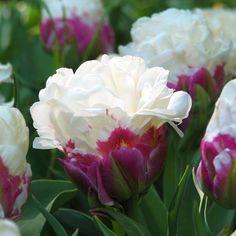 Тюльпан 'Айс Крим' - Tulip 'Ice Cream'.