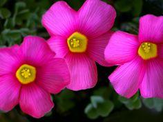 Oxalis obtusa  'Rose' - by HIRO.M.