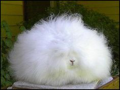Angora Rabbit Online Technical Manual