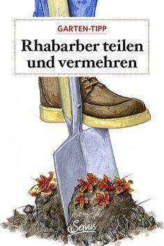 Wenn die Blätter gelb und welk sind, erfolgt die Teilung der Rhabarber-Pflanze. Und was man sonst noch für seines Rhabarber tun kann, lesen Sie gleich hier. Butterfly Bush, Women's Coats, Day Lilies, Rhubarb Plants, Compost