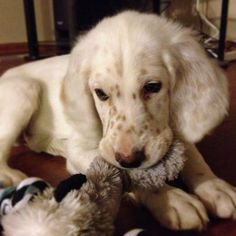 Gunster the English Setter