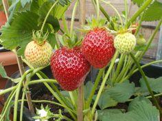 #MyColourOfSummer Ettinger is home grown strawberries!