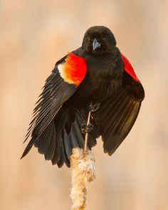 Displaying Red-Winged Blackbird