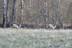 Metskits / Roe deer / Capreolus capreolus kaber : kabra : kapra 'metskits (Capreolus)' View th. Fog Images, Surface Mining, Roe Deer, Instagram