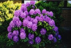 Deep purple flowering bushes flowers pinterest purple love these mightylinksfo