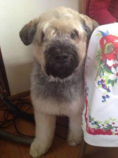 + images about Dog Love | Bouvier des Flandres on Pinterest | Bouvier ...