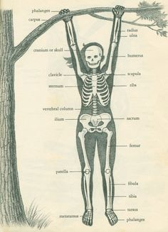 Dr. Herbert S. Zim - love this sketch of a skeleton in a less-formal pose!