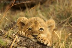 55 Adorable Pictures of Lion Cubs You must See Cubs Pictures, Lion Pictures, Animal Pictures, Adorable Pictures, Cute Baby Animals, Animals And Pets, Baby Lion Cubs, Lioness And Cubs, Lion Photography