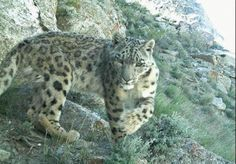 Cats on Camera    Endangered creatures that live only in the highest mountains of Asia, snow leopards are notoriously difficult to study. But a new survey using camera traps has generated 30 photographs of the elusive cats in 16 locations in the rugged, reportedly peaceful region of northeastern Afghanistan called the Wakhan Corridor.