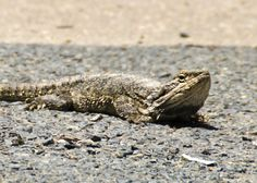Water dragon. Spotted at The Retreat, Anna Bay, Port Stephens. Warming up it's belly on the hot pavement. It didn't want to move, so we had to drive around it to avoid squishing it. #waterdragon #portstephens