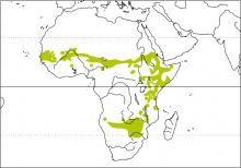 Cut-throat Finch (Amadina fasciata)
