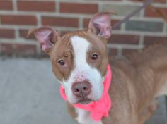 Brooklyn Center QUEEN - A1025977 FEMALE, TAN / WHITE, AM PIT BULL TER / LABRADOR RETR, 4 yrs OWNER SUR - EVALUATE, NO HOLD Reason MOVE2PRIVA Intake condition UNSPECIFIE Intake Date 01/21/2015 https://www.facebook.com/photo.php?fbid=950554951624051