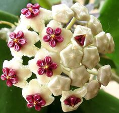 Hoya kerrii. Hoya plants - tropical, perennial creepers, vines or shrubs are native to Asia. With fascinating blooms, they are popular as houseplants.