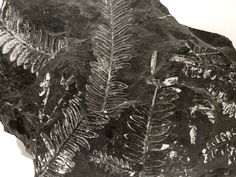 Neuropteris (fossil plant fern) from the Upper Carboniferous (280 million years ago) LLewellyn Shale in St. Clair, Pennsylvania. To give an idea of scale the plate of shale in the upper photo is 10 inches (25 centimeters)  wide.