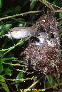 N - Taranaki Educational Resource: Research, Analysis and Information Network - Grey Warbler (Gerygone igata) nest Birds 2, Pet Birds, Bird Nests, Spring Sign, Mouths, Cockatoo, Animal House, Forests, Blue Bird