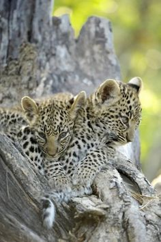 Mombo Babys: Photo by Photographer Fred Vnoucek :) Crazy Cats, Big Cats, Cats And Kittens, Cute Cats, Funny Kittens, Nature Animals, Animals And Pets, Beautiful Cats, Animals Beautiful