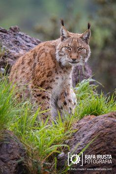 Lince europeo, Lynx lynx
