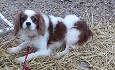 Oscar is an adoptable Cavalier King Charles Spaniel searching for a forever family near New Albany, IN. Use Petfinder to find adoptable pets in your area.