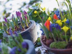 March and April are wonderful for planting spring flower bulbs, with everything from fragrant Muscari – also known as grape hyacinths – through to daffodils. How to get started planting flowering bulbs. Planting Bulbs In Spring, Spring Flowering Bulbs, Garden Bulbs, Spring Bulbs, Bulb Flowers, Flower Pots, Container Plants, Container Gardening, Flora Garden
