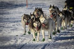 Huskies.