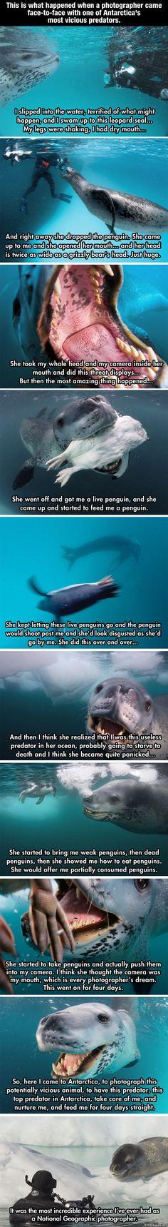 National Geographicin valokuvaajalla Paul Nicklenillä oli jännittäviä hetkiä hänen kuvatessaan merileopardeja antarktiksella.