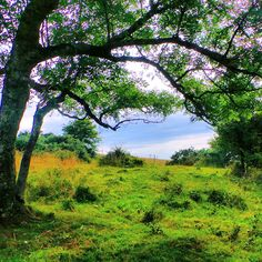 Green tree arching over a meadow at the top of the South Downs..