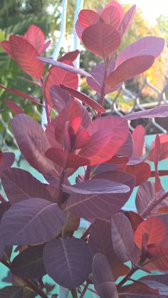 Cotinus Grace 'Smoke Bush' #cottagegardenshrubs