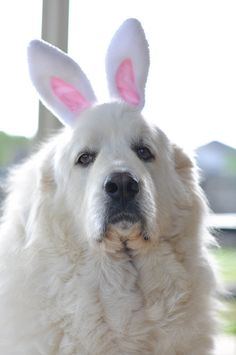 pyrenees Easter bunny