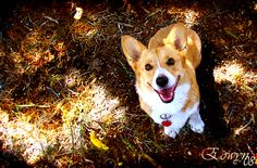beautiful Corgi--looks a lot like Penny. :)