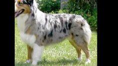 Fotos de perros pastores/ Sheepdog photos