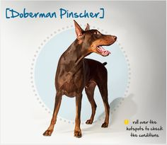 Did you know that the Doberman is named for tax collector Louis Dobermann, who bred them as a companion to accompany him on dangerous collections? Read more about this breed by visiting Petplan pet insurance's Condition Checker!
