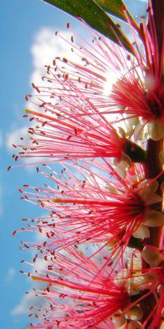 Australian Bottlebrush Australian Native Flowers, Australian Plants, Australian Icons, Beautiful World, Beautiful Gardens, Beautiful Flowers, Exotic Flowers, Bush, Language Of Flowers