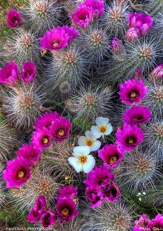Sego lillies surrounded by strawberry Hedgehog cactus, Barnhardt Trail, Tonto National Forest, Arizona